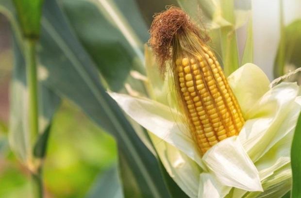 La Alcaldía de Acacías capacitará a pequeños, medianos productores y mujer rural en Cultivo de Maíz para Ensilar